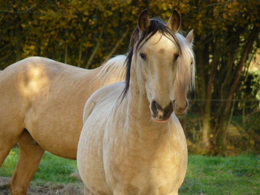 sorte araber hest